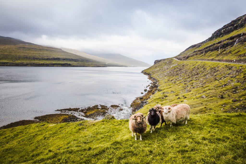 Sheep in the Faroe Islands, Denmark.