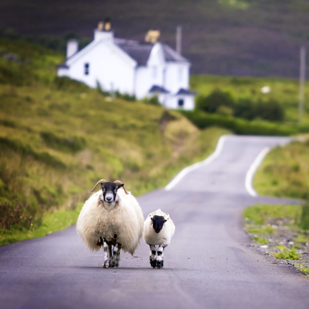 Sheep in the middle of the road in Scotland.