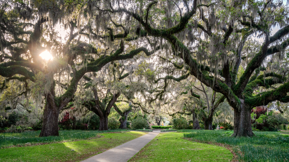 Live Oaks with Spanish Moss in Spring - South Carolina