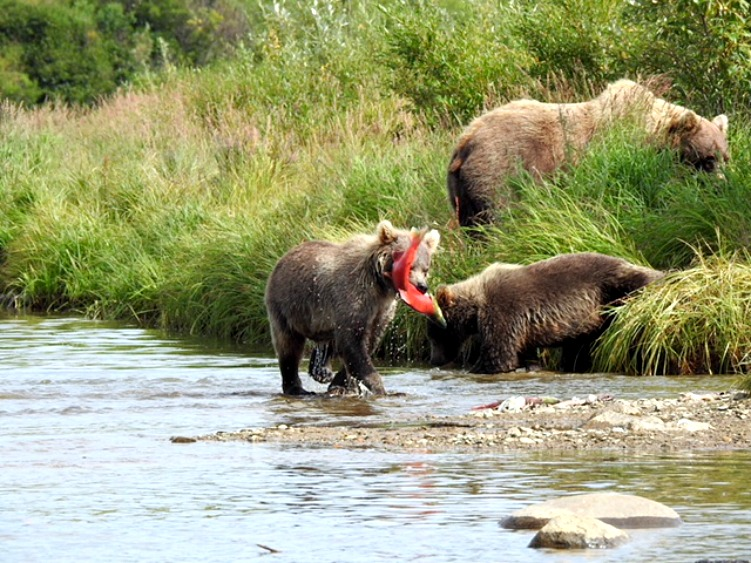 sightseeing grizzlies in alaska when fly fishing for couples
