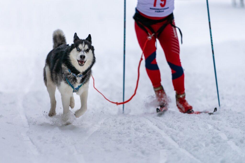 Skijoring with a husky.
