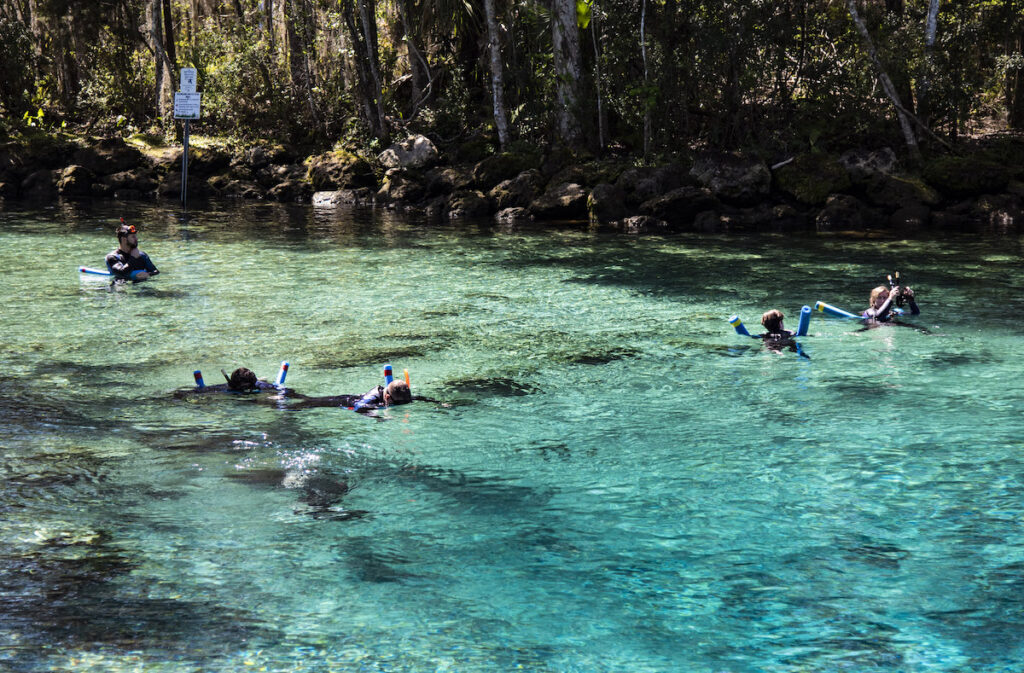 Snorkeling with manatee, Crystal River, Florida.