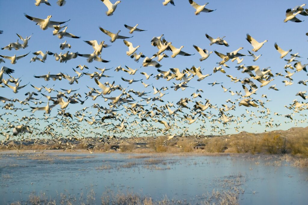 Snow geese in Bosque Del Apache National Wildlife Refuge.
