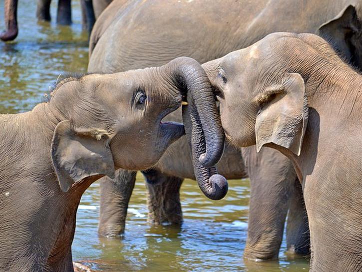 Sri Lanka elephants