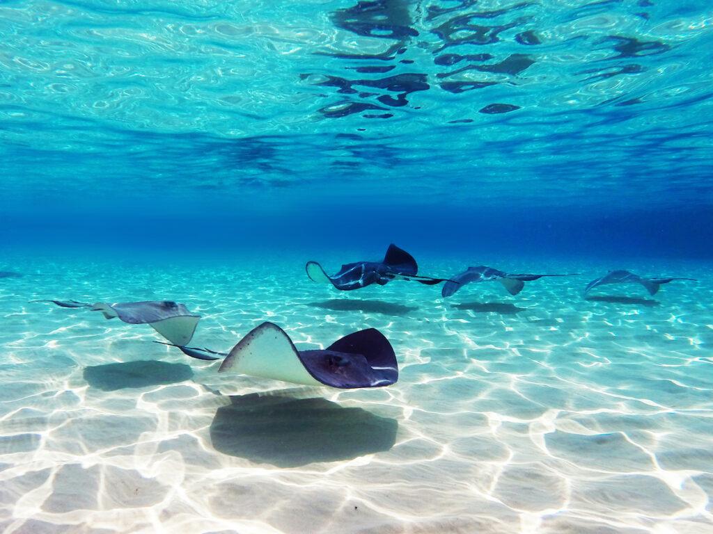 Stingray City on the coast of Grand Cayman island.