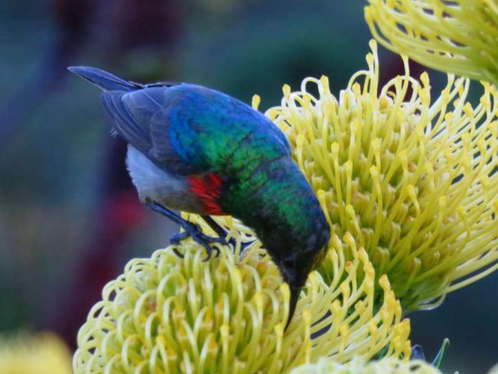 Sunbird Capetown Botanic Gardens