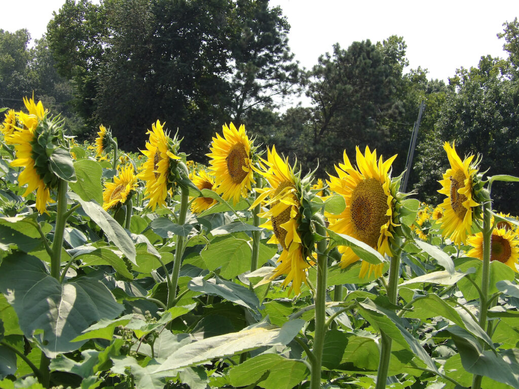 Sunflowers at Grinter Farm in Lawrence, Kansas.