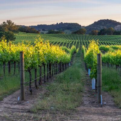 Sunset over the vineyards in Healdsburg, California.