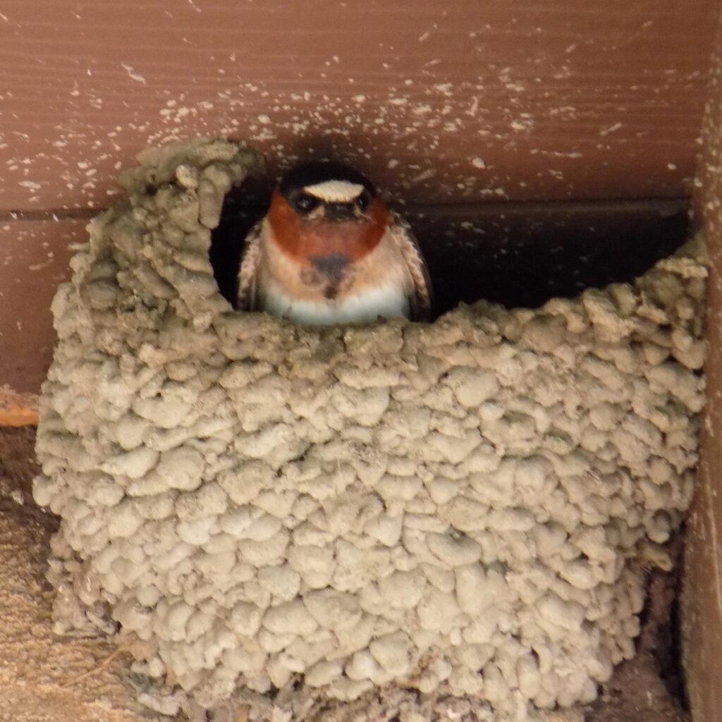 Swallow, Mission San Juan Capistrano.