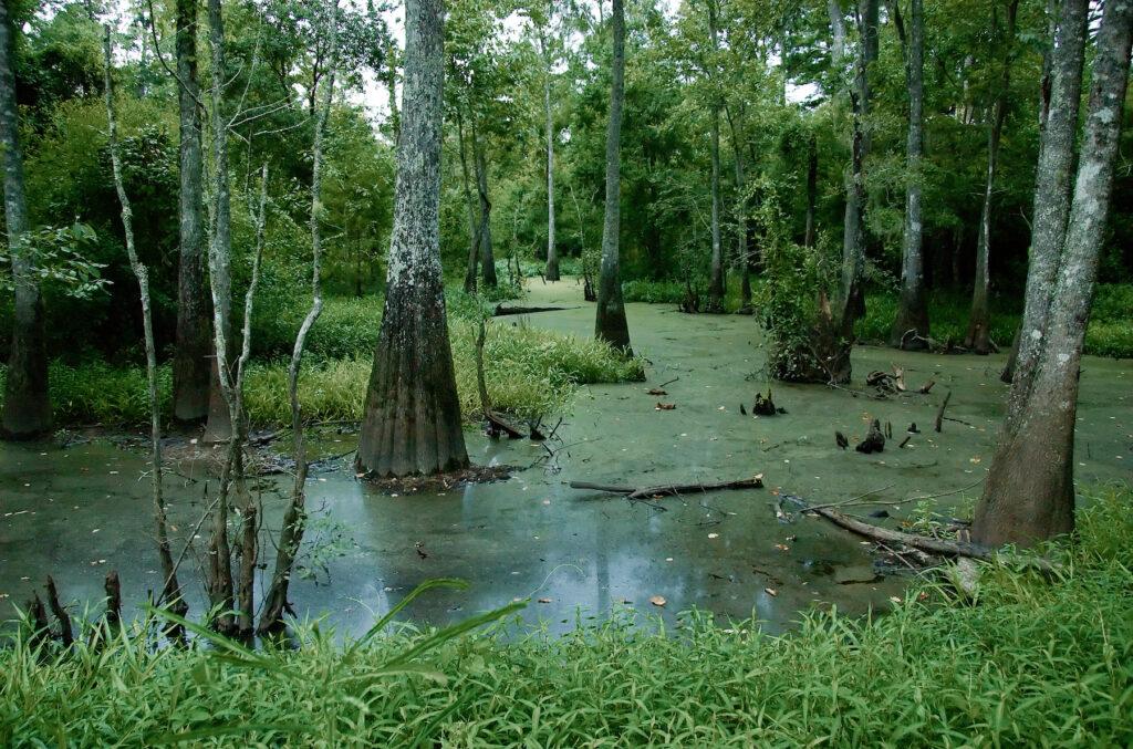 Swamp views in Tickfaw State Park.