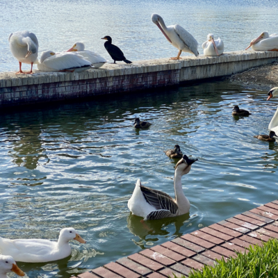 Swans and other birds, Lakeland, Florida.