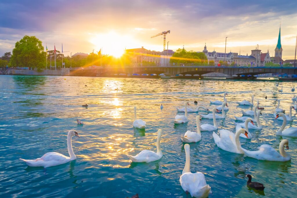 Swans on Lake Zurich.