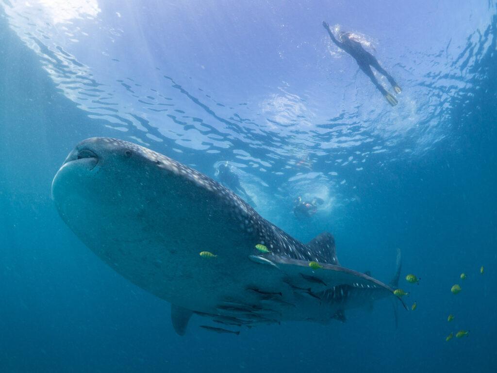 Swimming with a whale shark off the coast of Mafia Island.