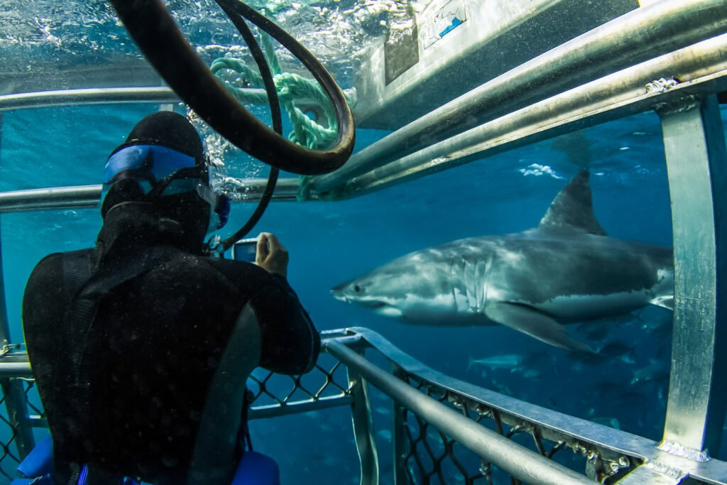 Swimming with great white sharks.