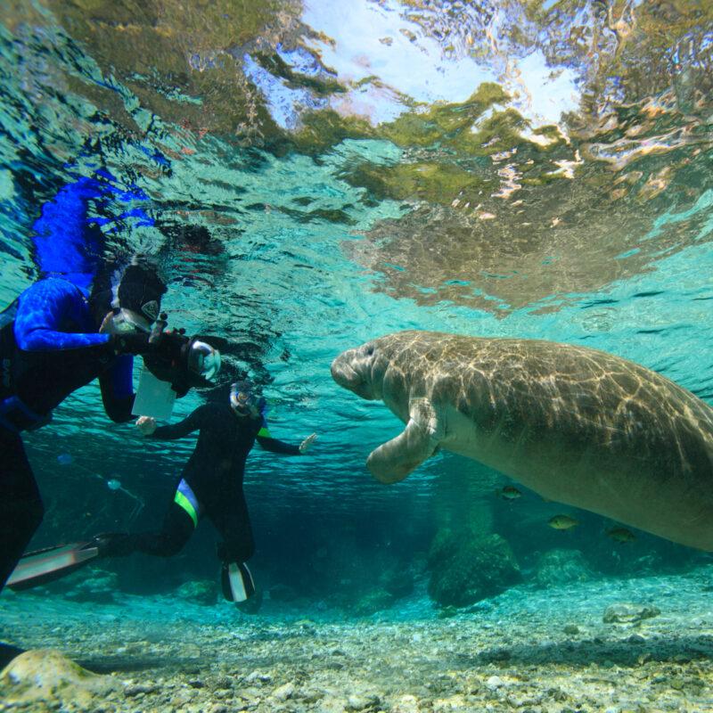 Swimming with manatees, Crystal River, Florida.