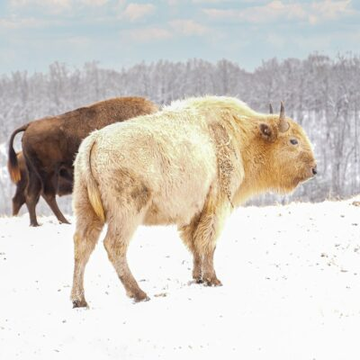 Takoda, the white bison at Dogwood Canyon Nature Park.
