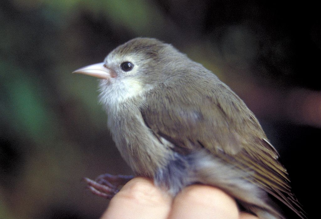 The 'Akikiki bird in Hawaii.