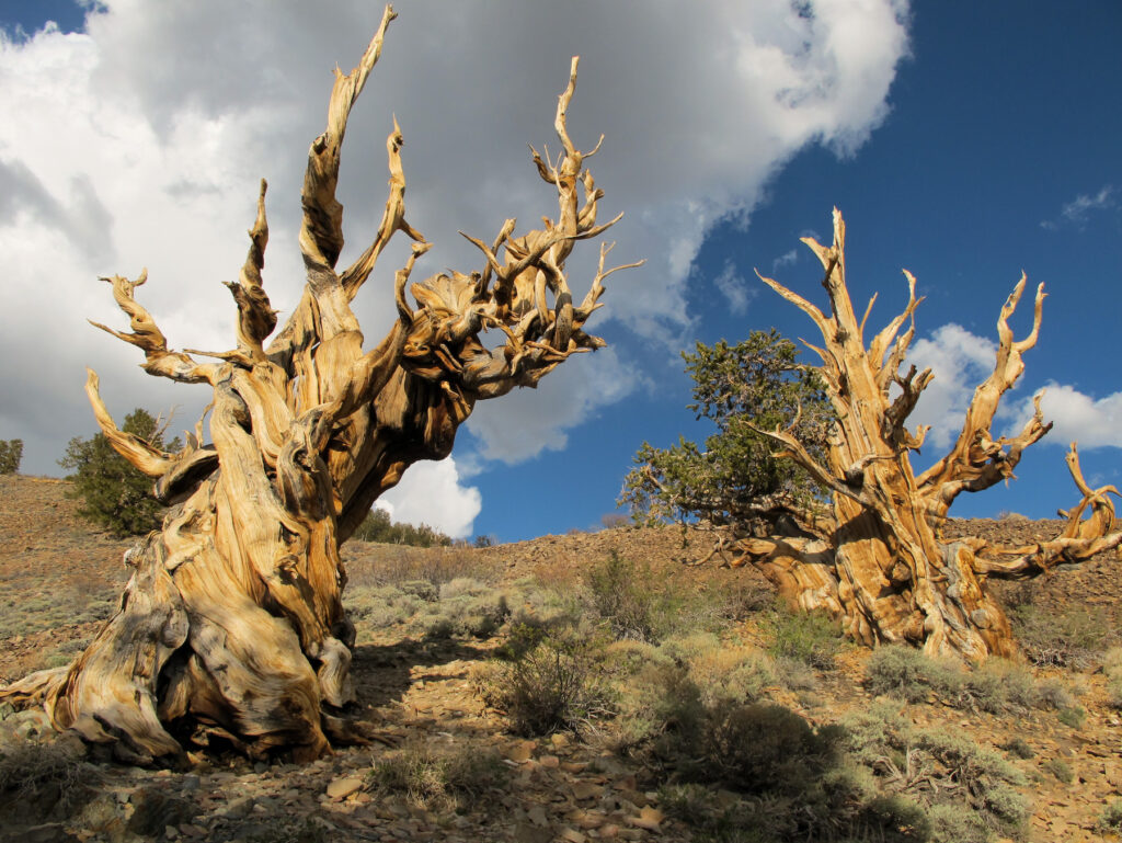 The Ancient Bristlecone Pine Fores tin California.