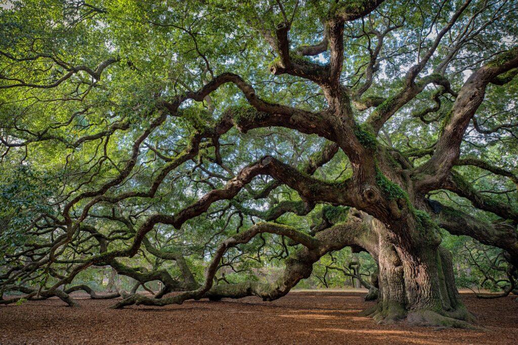 The Angel Oak in Charleston.