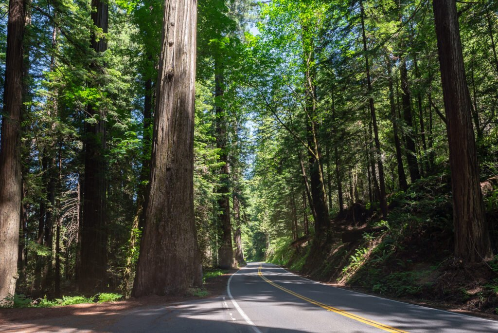 The Avenue of the Giants in California.