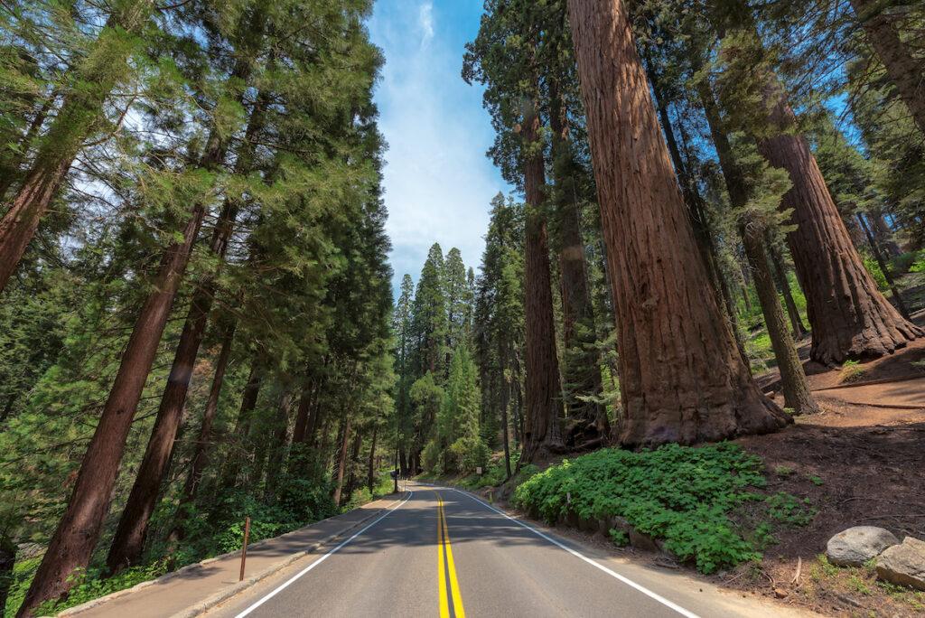 The Avenue of the Giants near Eureka, California.