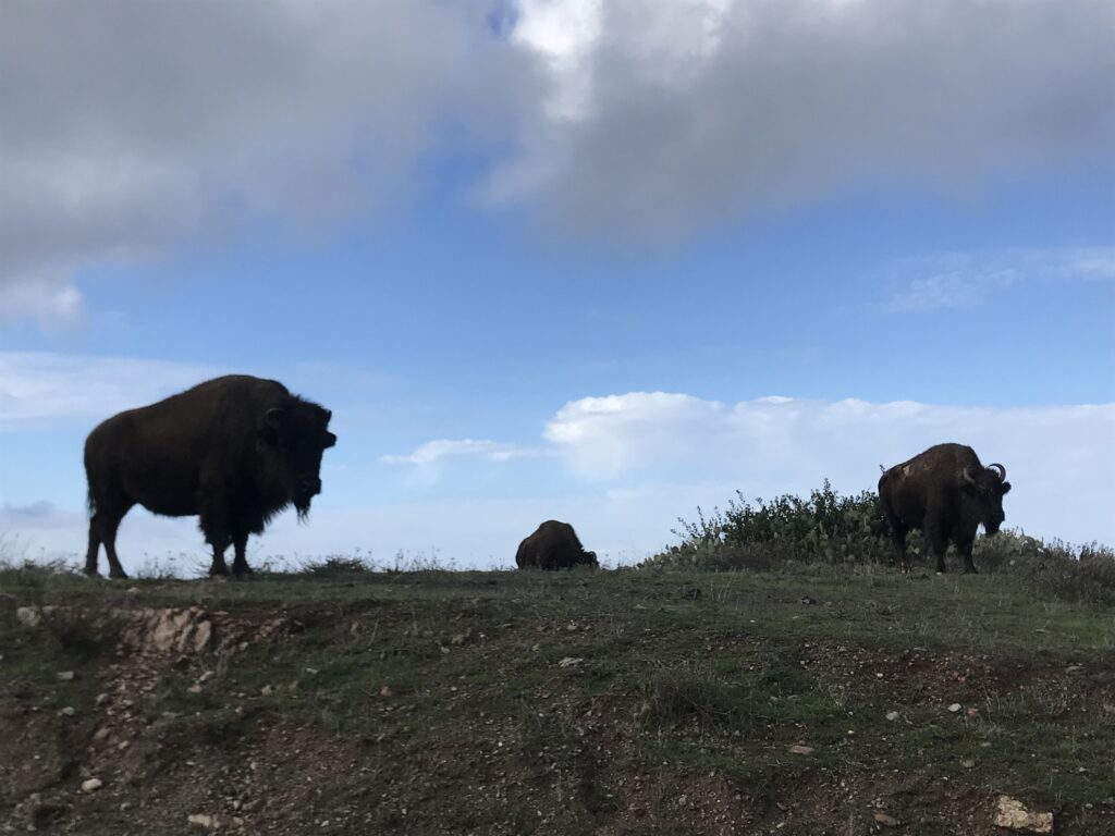 The Bison Expedition on Catalina Island.