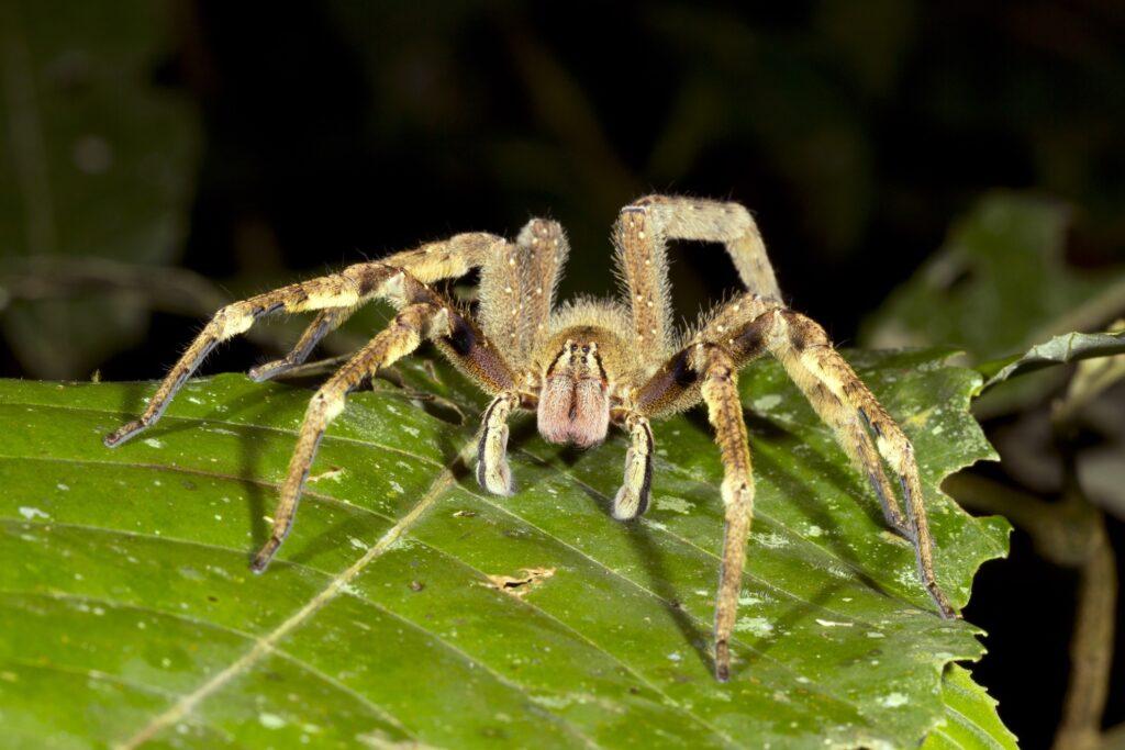 The Brazilian Wandering Spider.