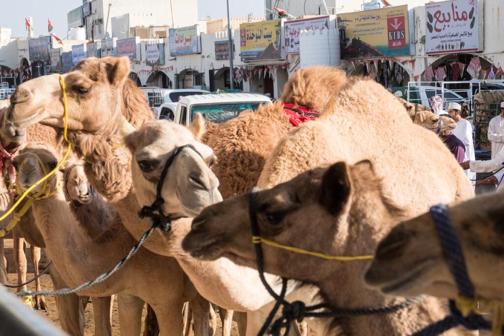 The Camel Market in Sinaw, Oman.