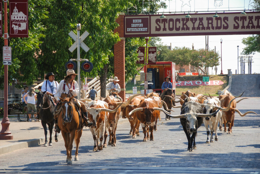 The cattle drive at the Fort Worth Stockyards.