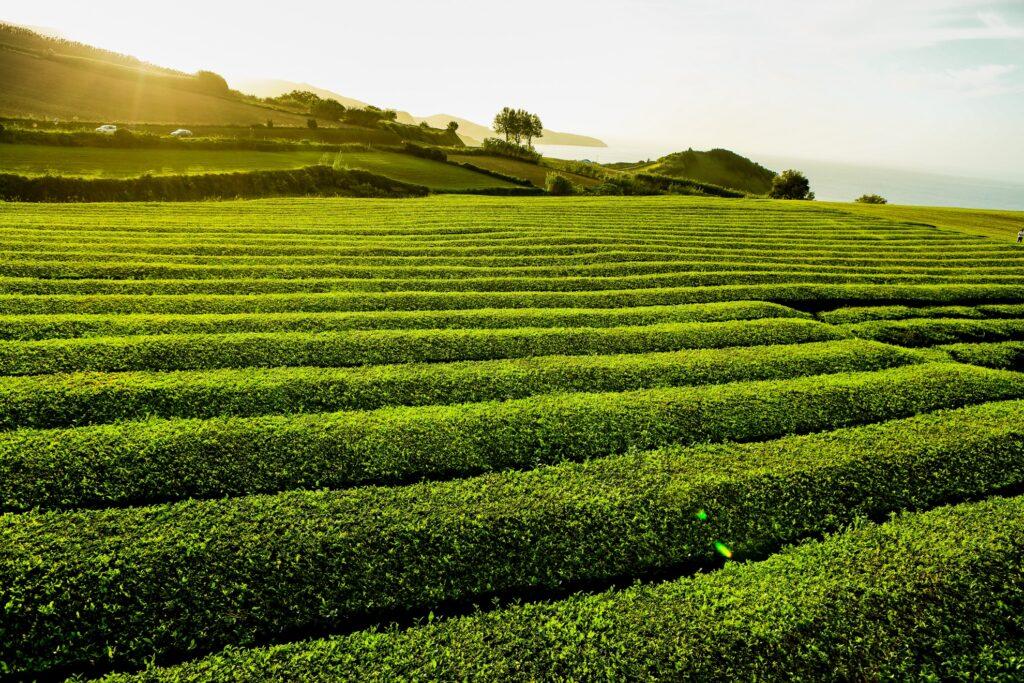 The Cha Gorreana tea plantation in Sao Miguel.