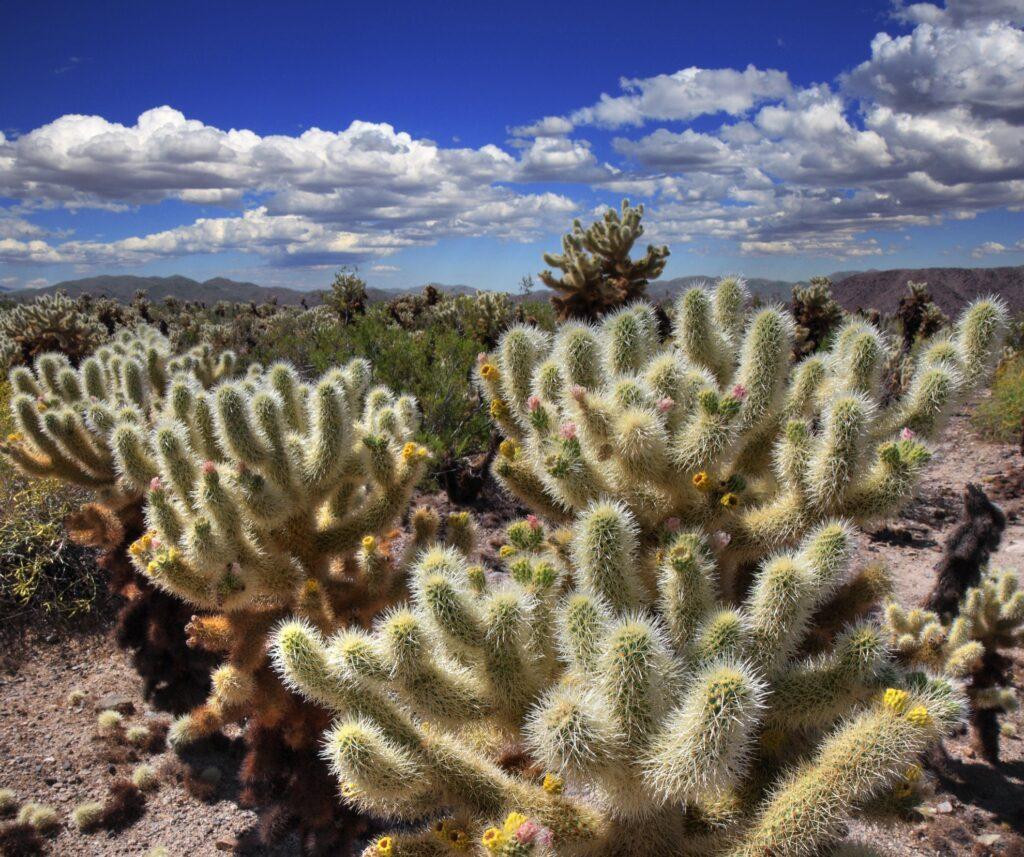 The Cholla Cactus Garden in California.