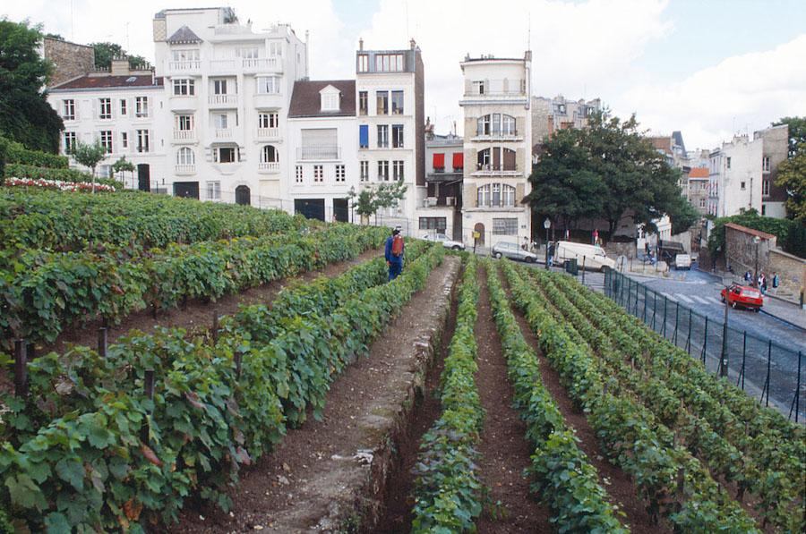 The Clos Montmartre vineyard in Paris.