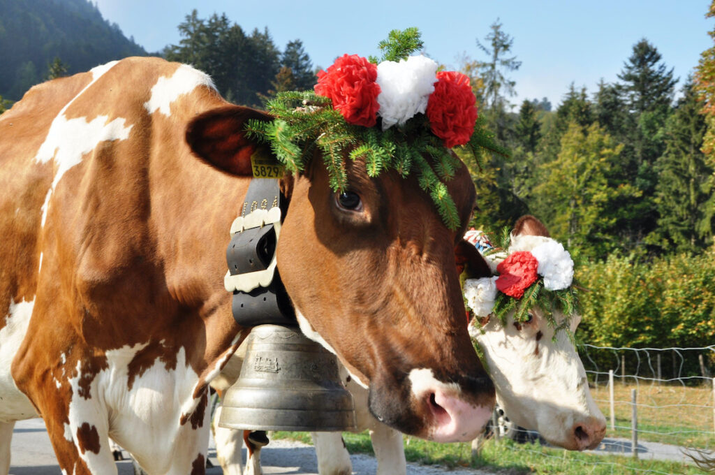 The cow parade in Switzerland during September.