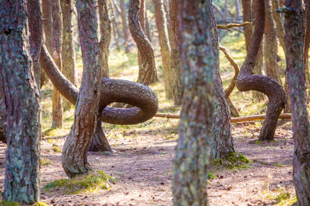 The Crooked Forest in Poland.