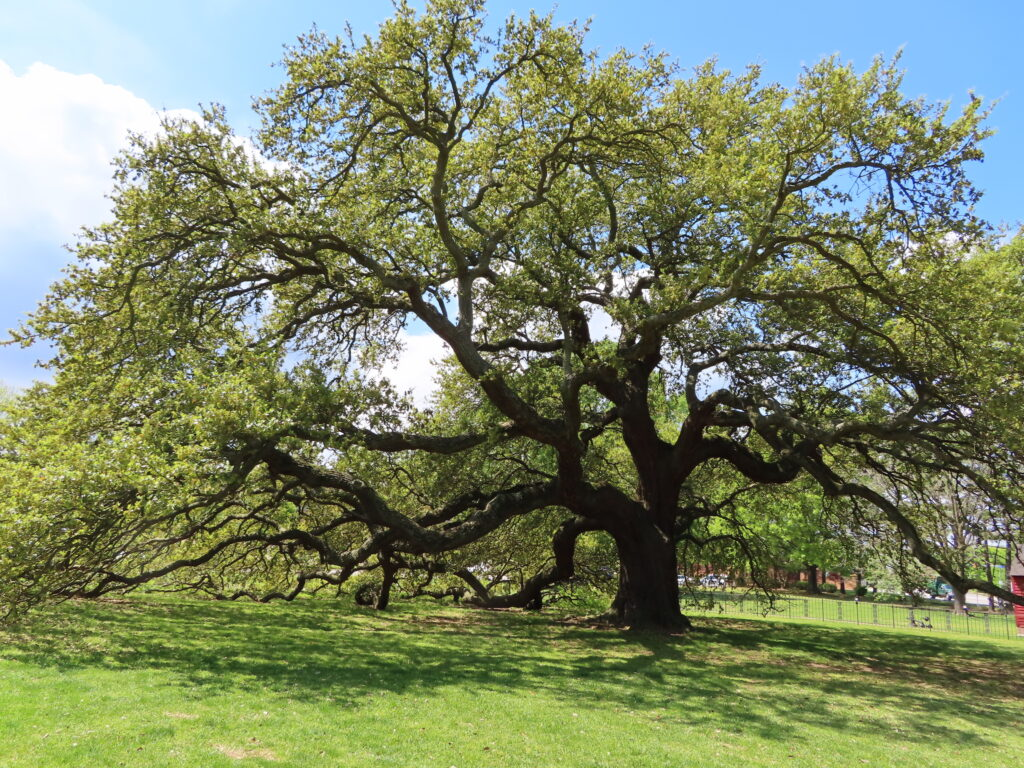 The Emancipation Oak in Hampton.