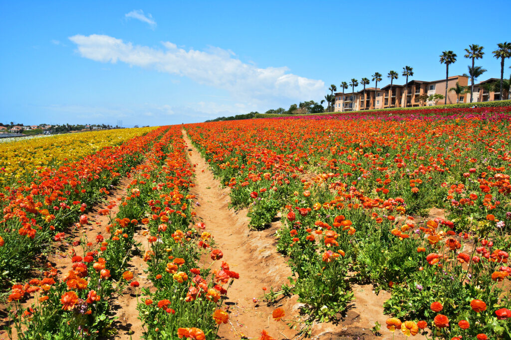 The Flower Fields at Carlsbad Ranch in Southern California.