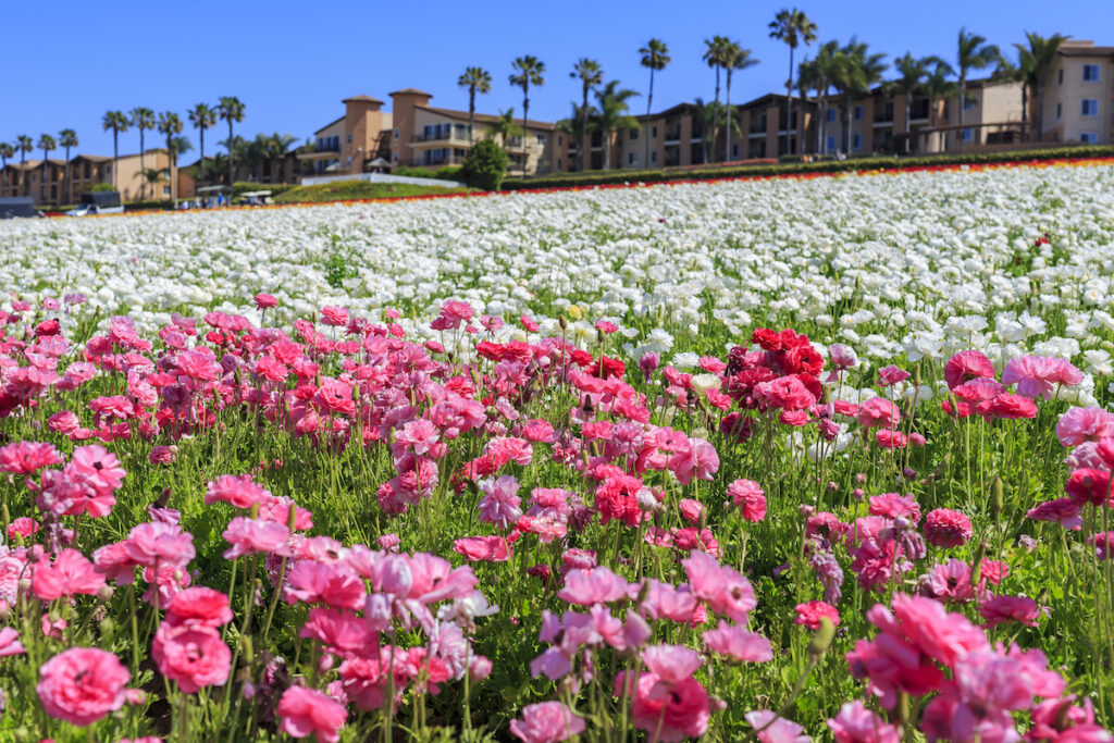 The Flower Fields at Carlsbad Ranch in California.