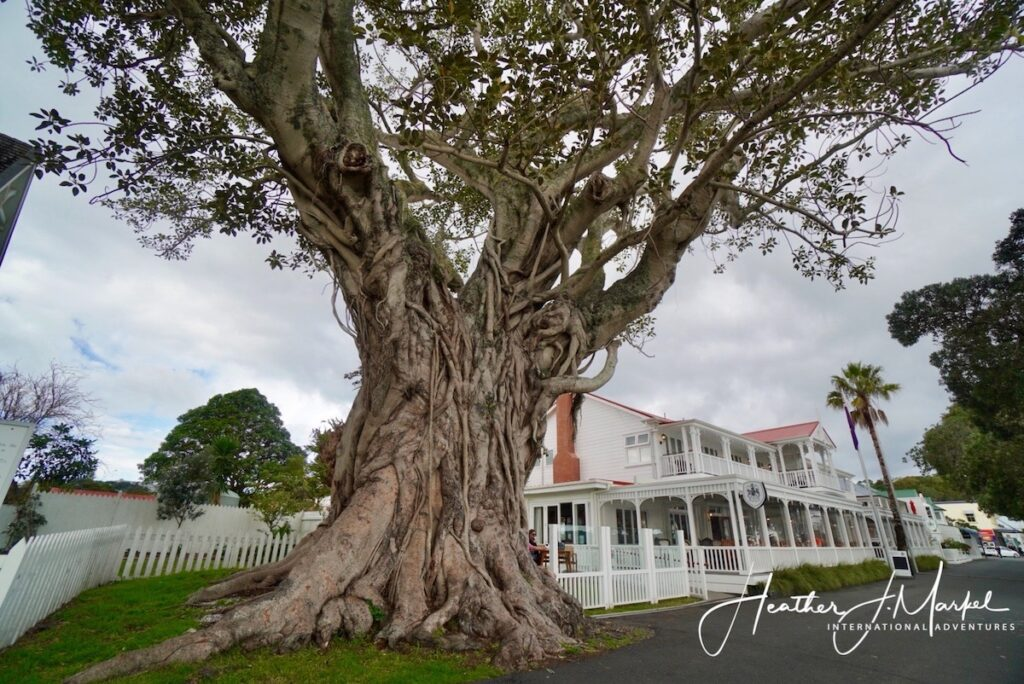 The gigantic tree in Russell, New Zealand.