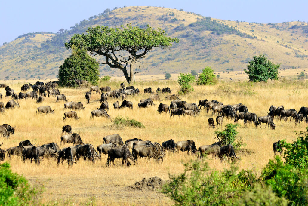 The Great Wildebeest Migration in Africa.