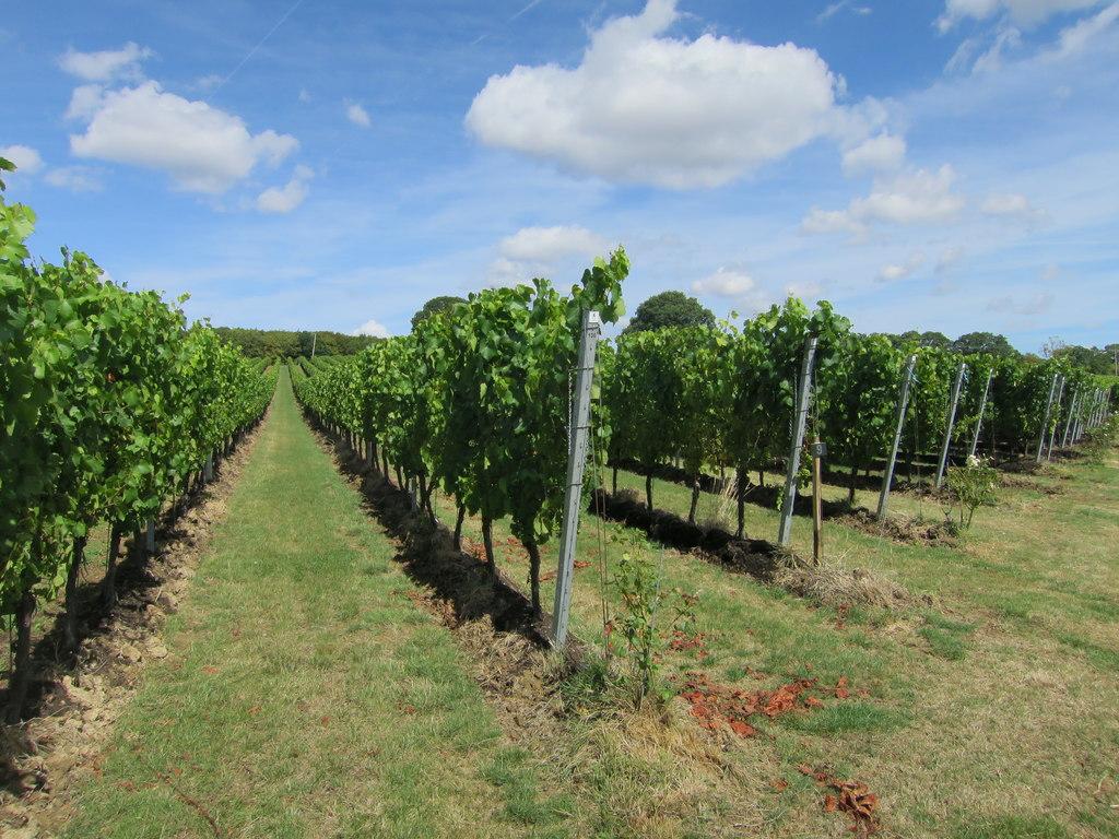 The Gusbourne Vineyard in Kent, England.