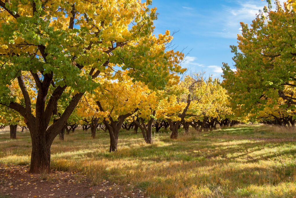 The historic Fruita orchards in Capitol Reef National Park.