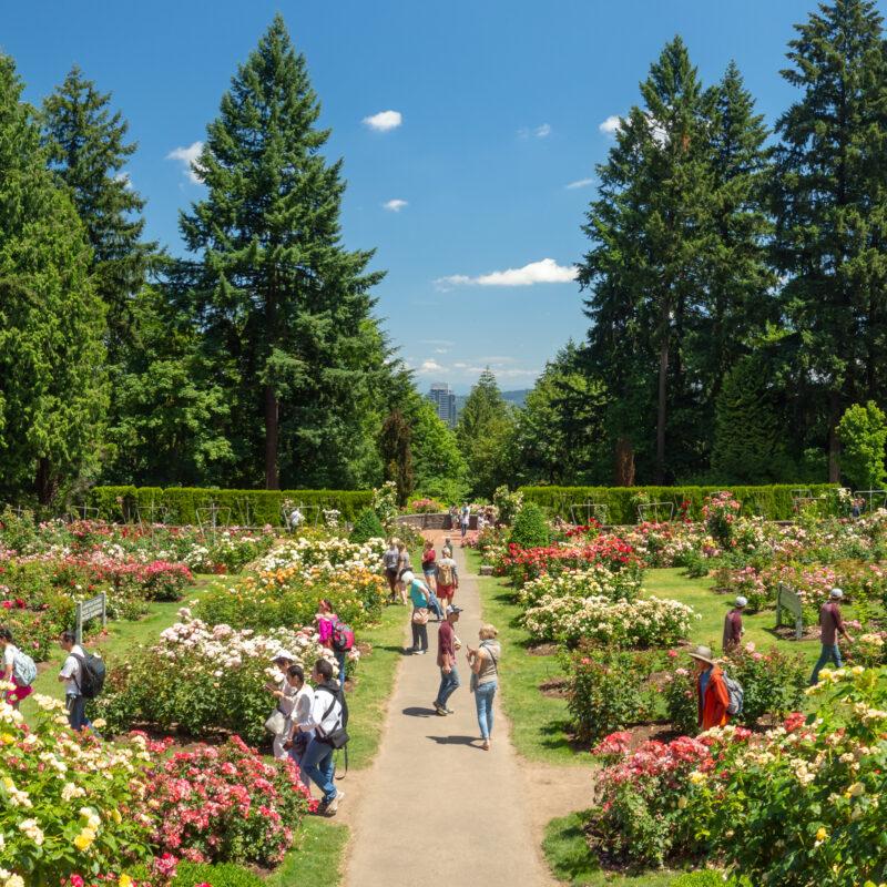 The International Rose Test Garden in Portland, Oregon.