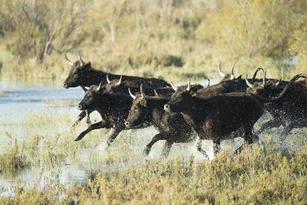 The long-horned black bulls of Camargue, France.