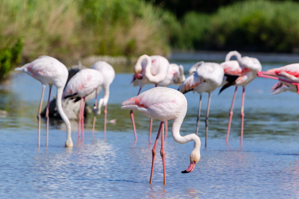 The pink flamingoes of Camargue, France.