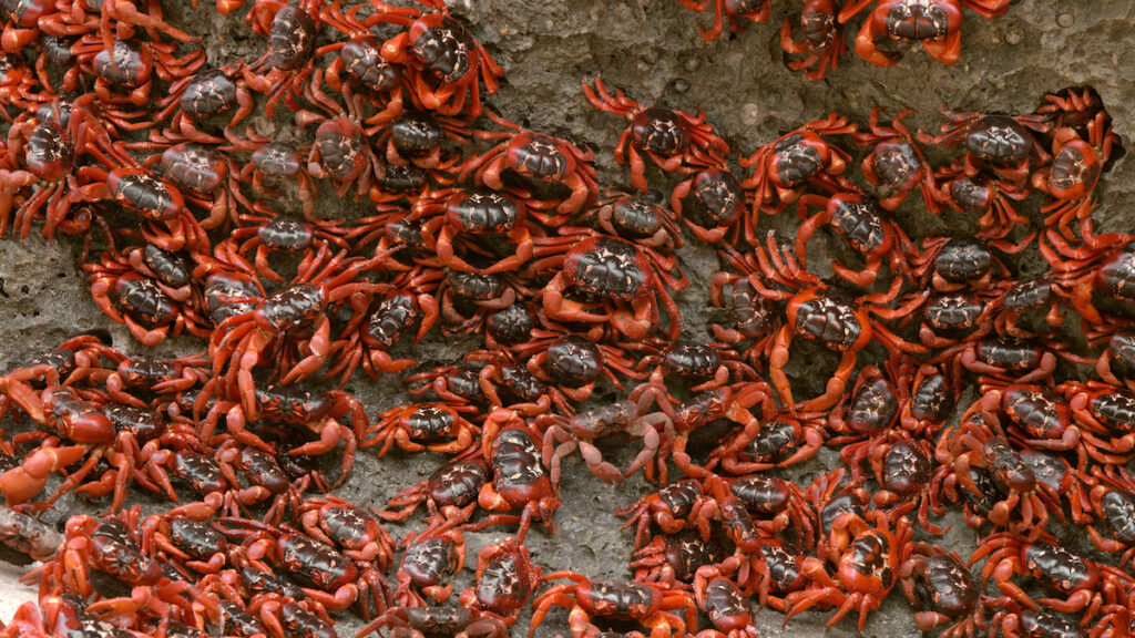 The red crab migration on Christmas Island.