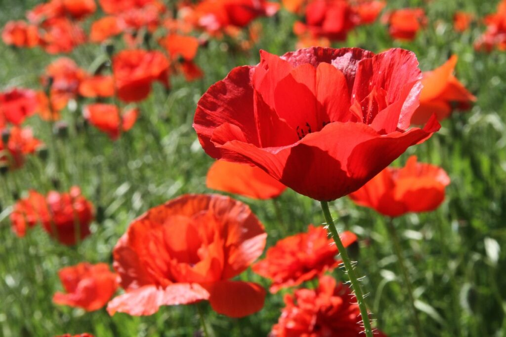 The Red Poppy Festival in Georgetown, Texas.