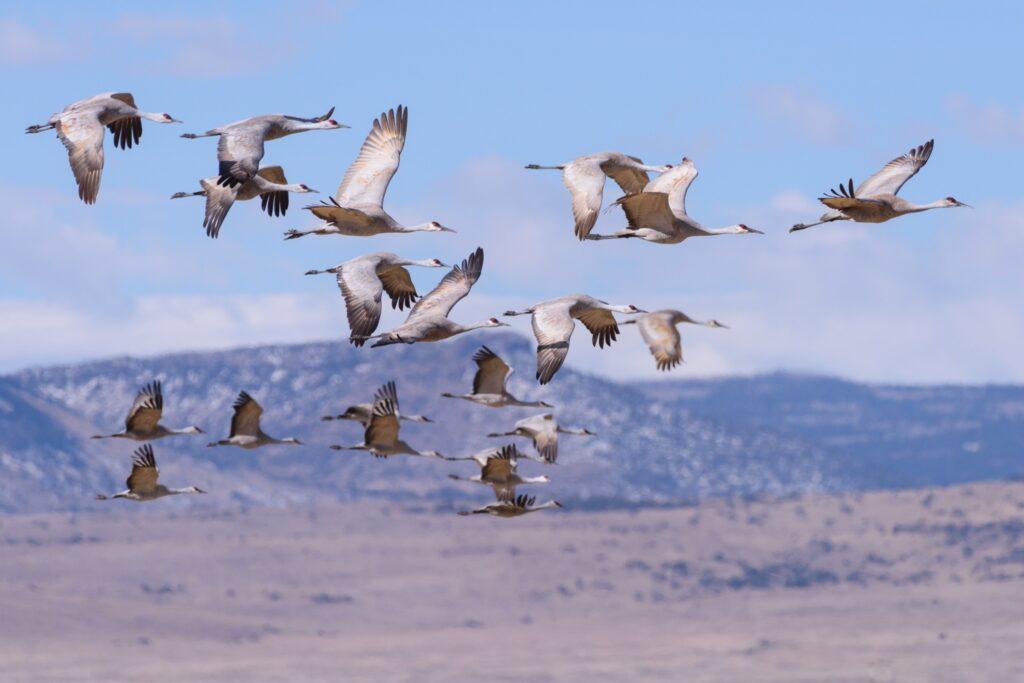 The sandhill crane migration.