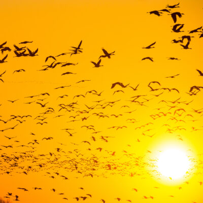 The Sandhill Crane Migration in Nebraska.
