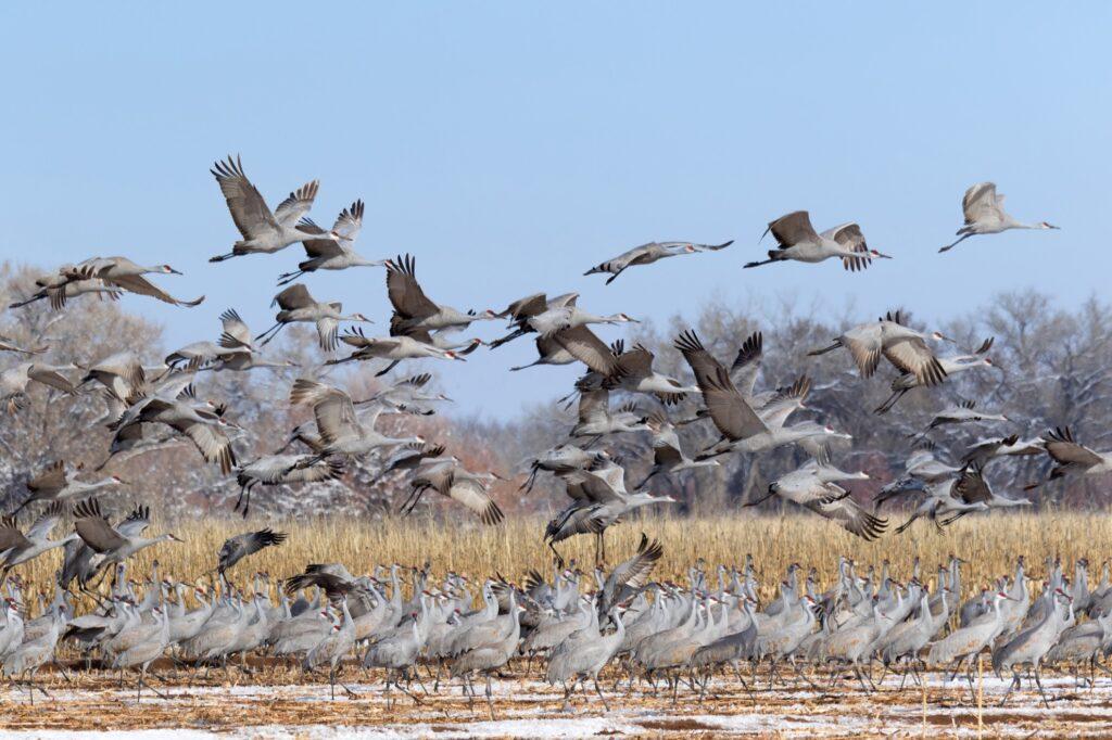 The sandhill crane migration in Nebraska.