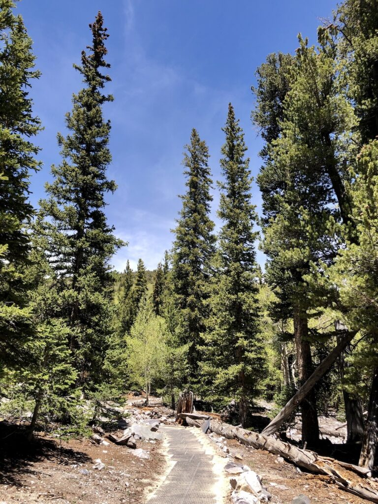 The Sky Islands Forest Trail in Great Basin National Park.